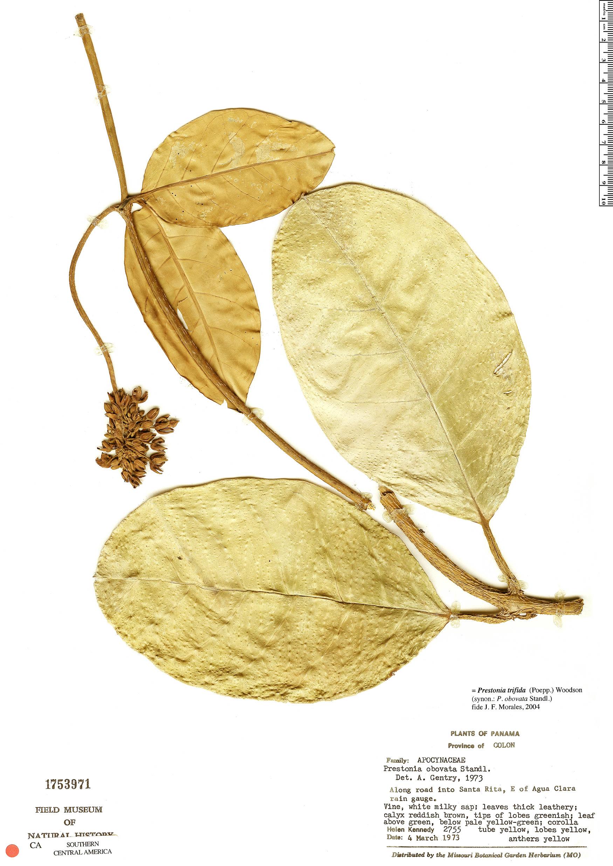 Prestonia trifida image