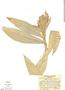 Costus acreanus (Loes.) Maas, Colombia, T. C. Plowman 2298, F