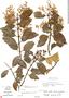 Gaiadendron punctatum (Ruíz & Pav.) G. Don, COSTA RICA, C. W. Laskowski 1331, F