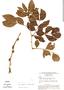 Zygia latifolia, Brazil, G. T. Prance 7365, F