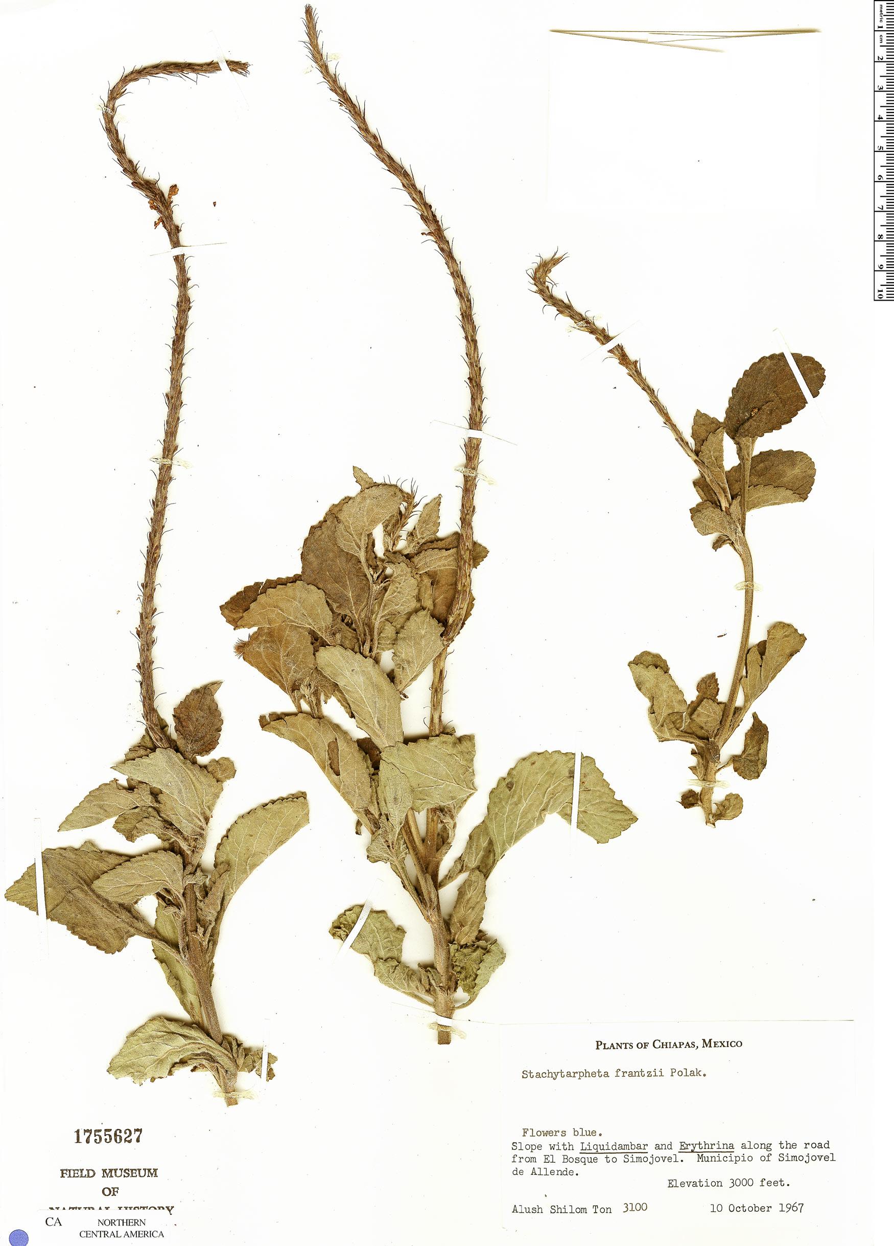 Stachytarpheta frantzii image