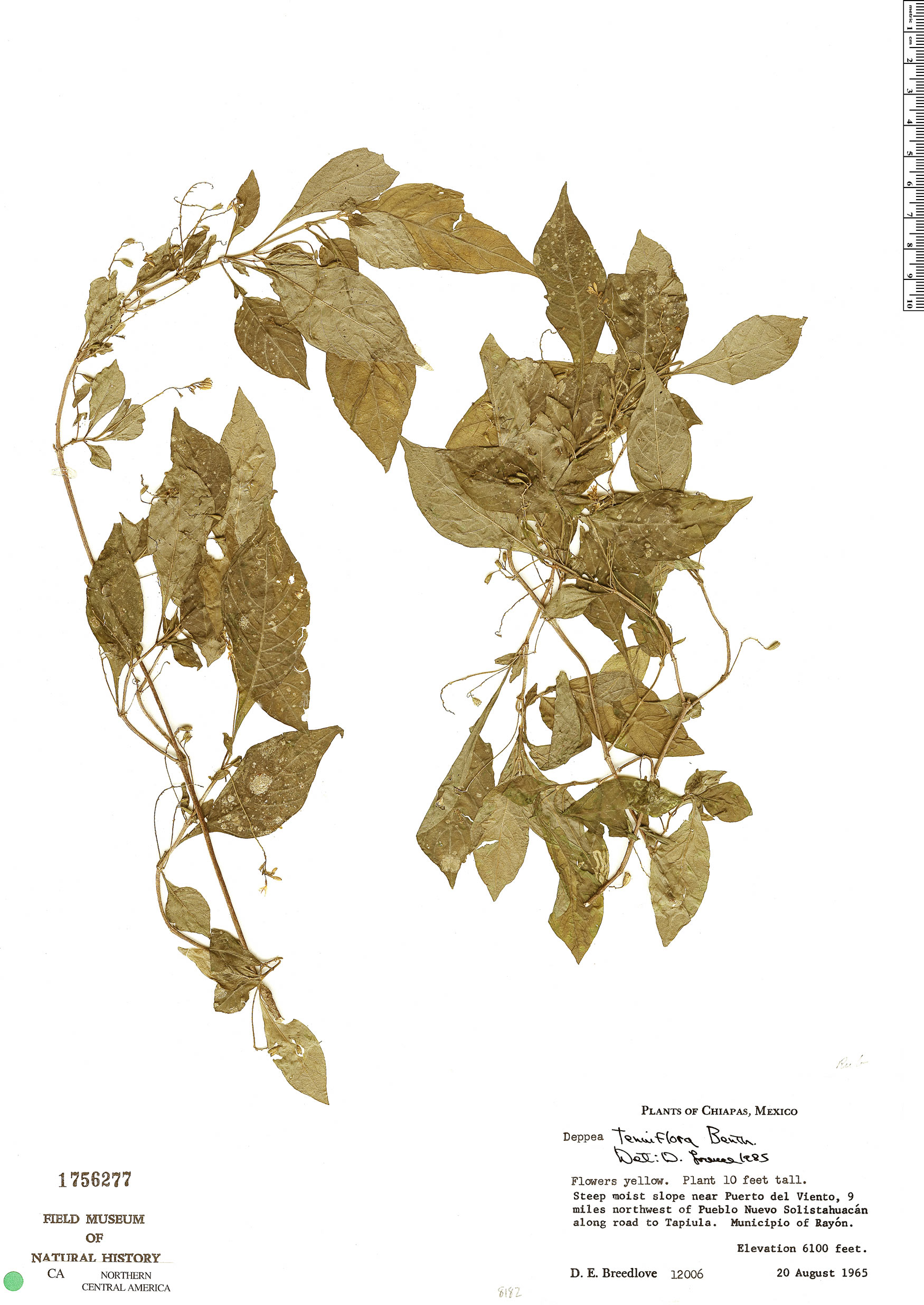 Deppea tenuiflora image