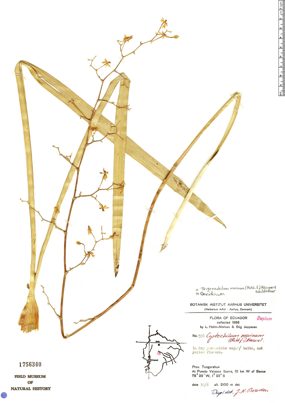 Specimen: Trigonochilum murinum