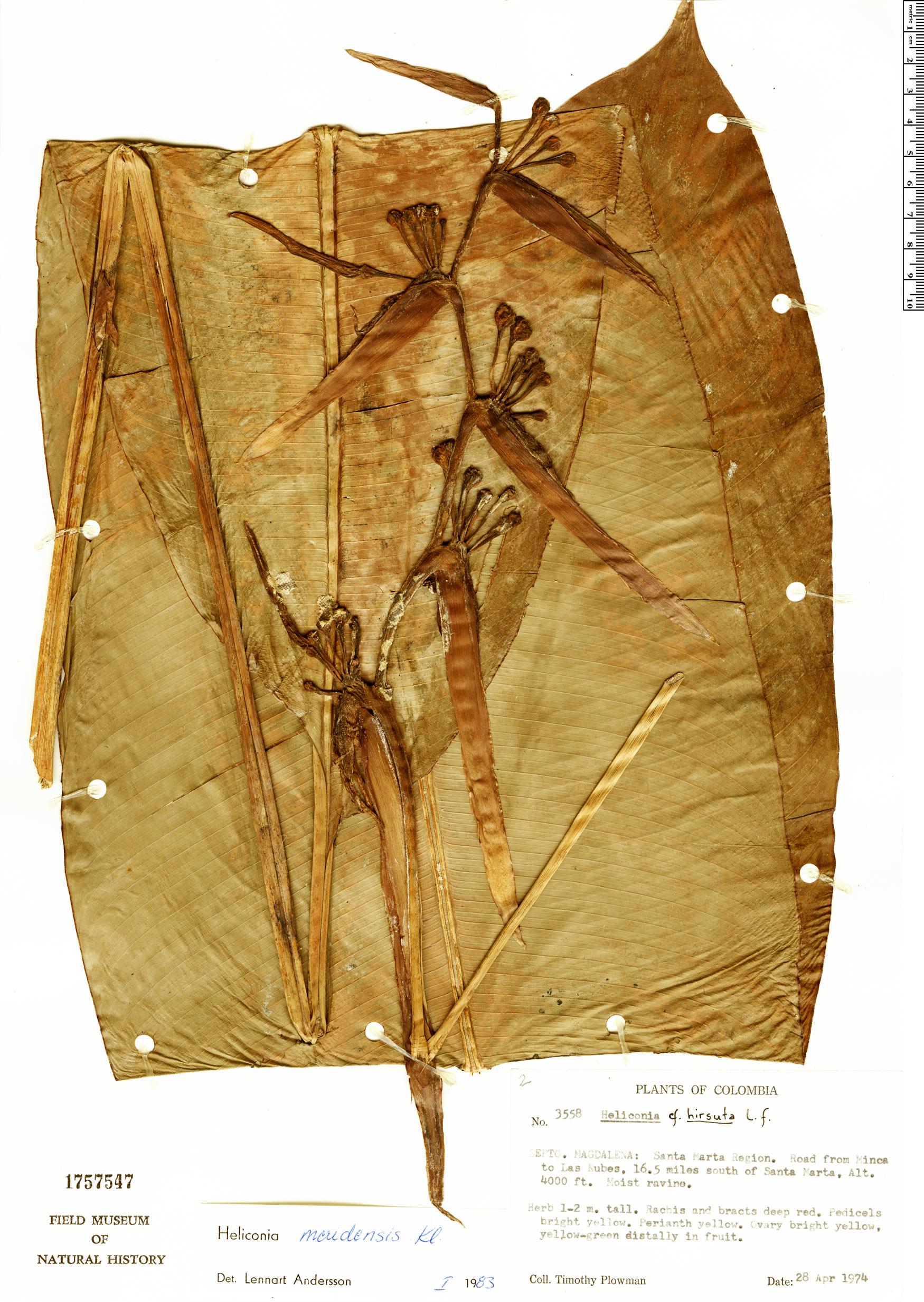 Specimen: Heliconia meridensis