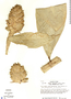 Costus acreanus (Loes.) Maas, Peru, T. C. Plowman 5011, F