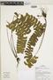 Lindsaea lancea var. falcata image