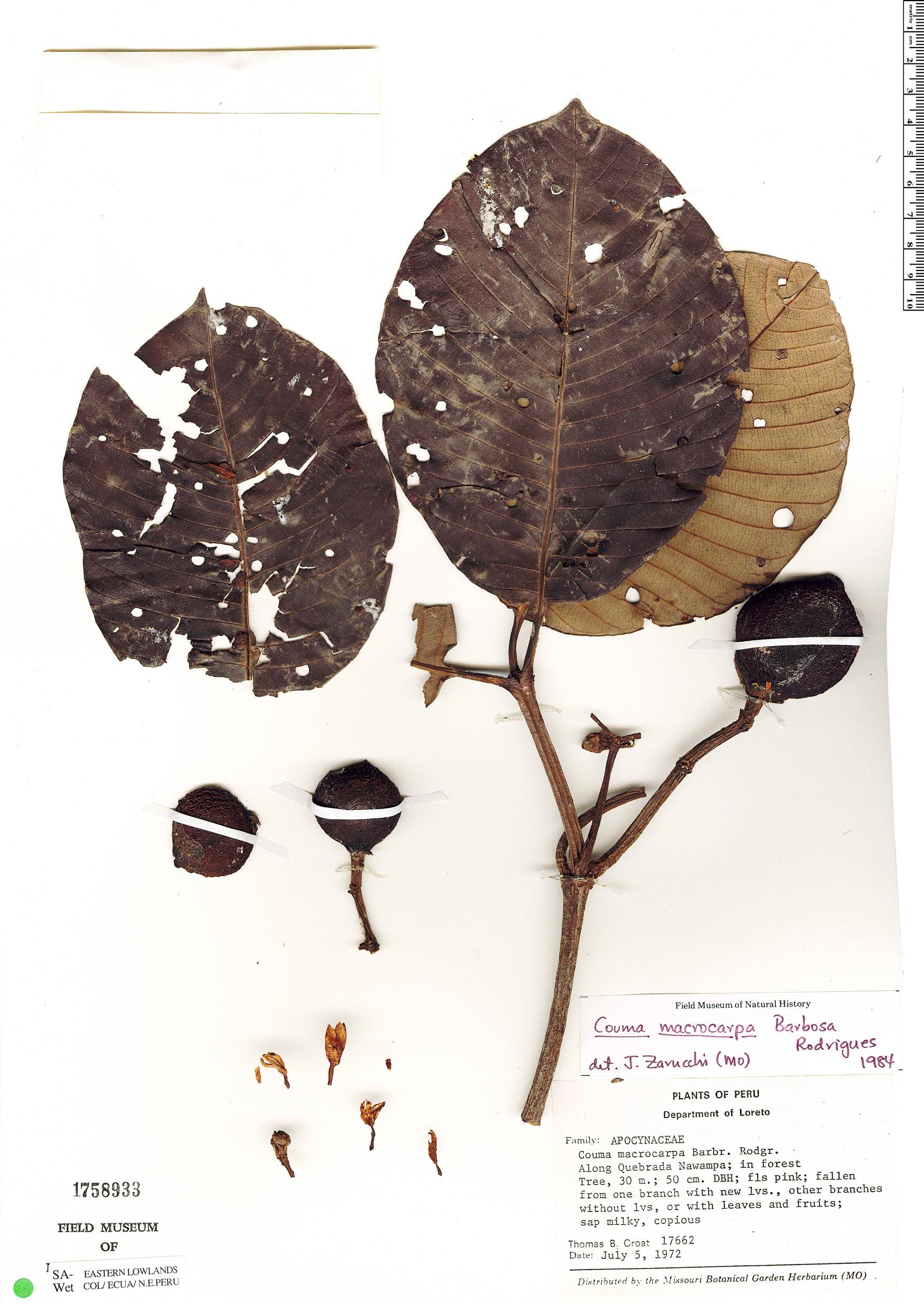 Espécime: Couma macrocarpa