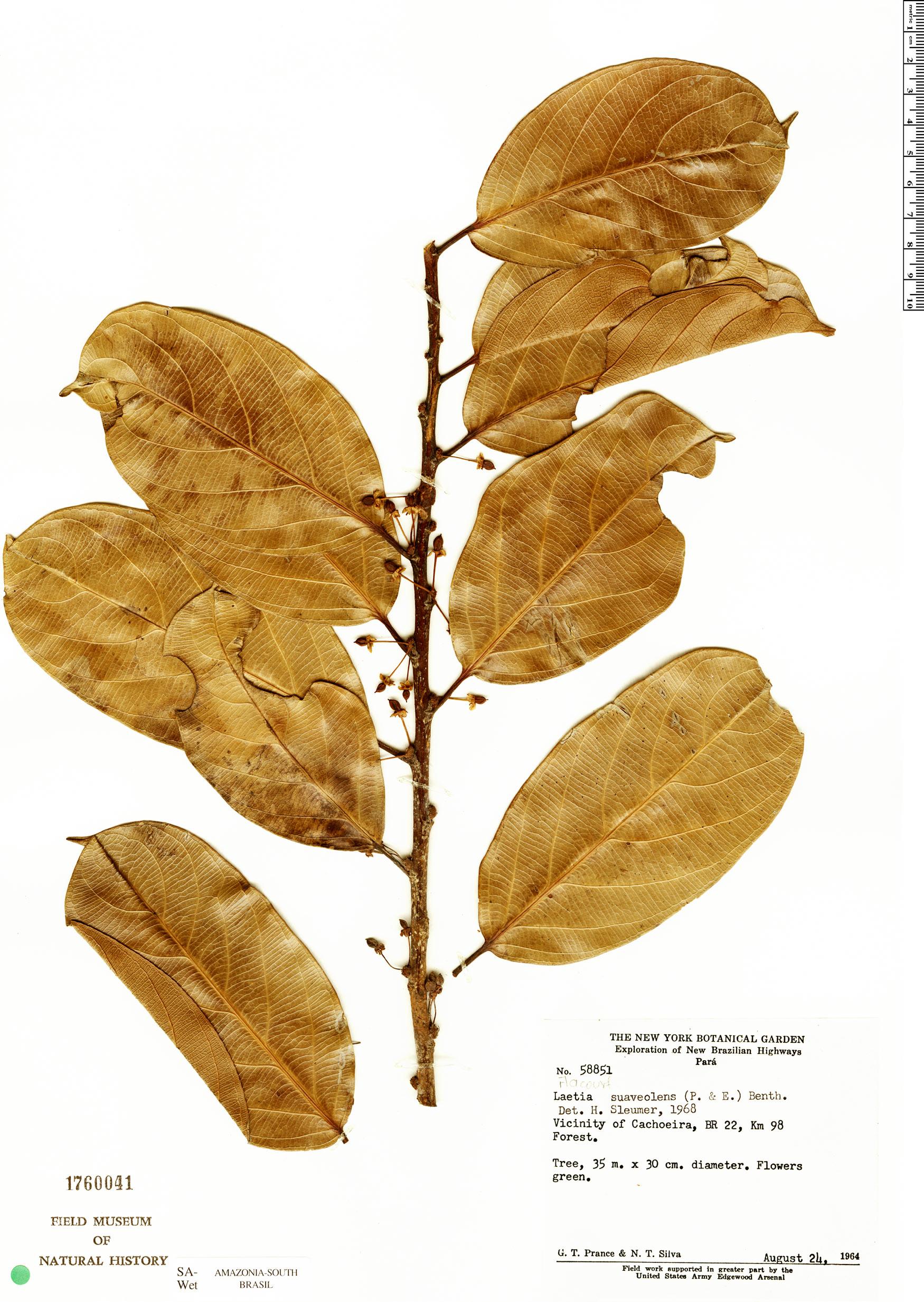 Specimen: Laetia suaveolens
