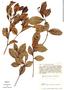 Humiria balsamifera Aubl., Colombia, R. Romero Castañeda 5129, F