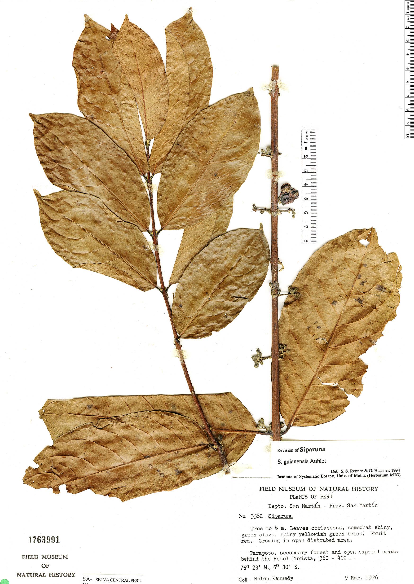 Specimen: Siparuna guianensis