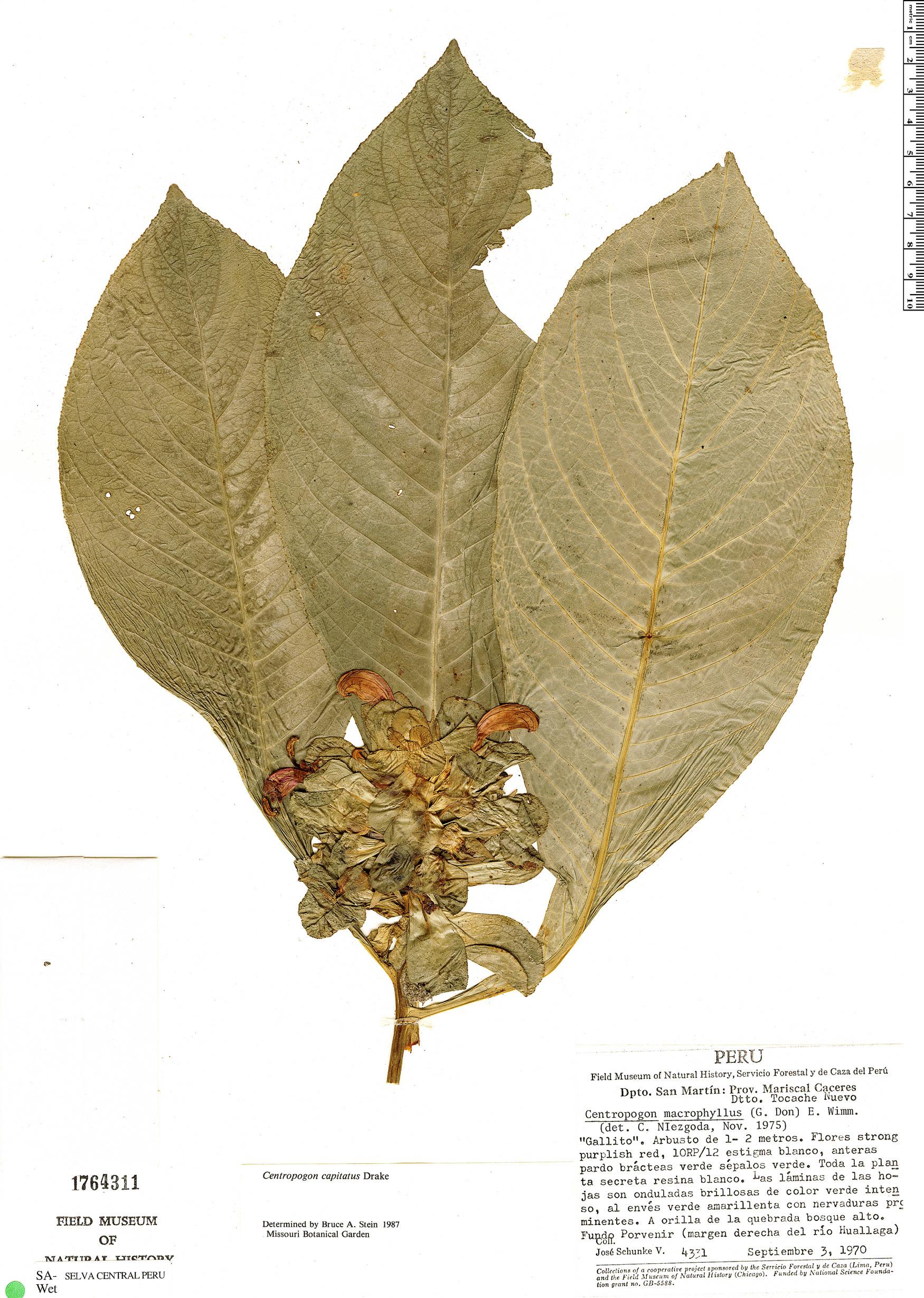 Specimen: Centropogon capitatus