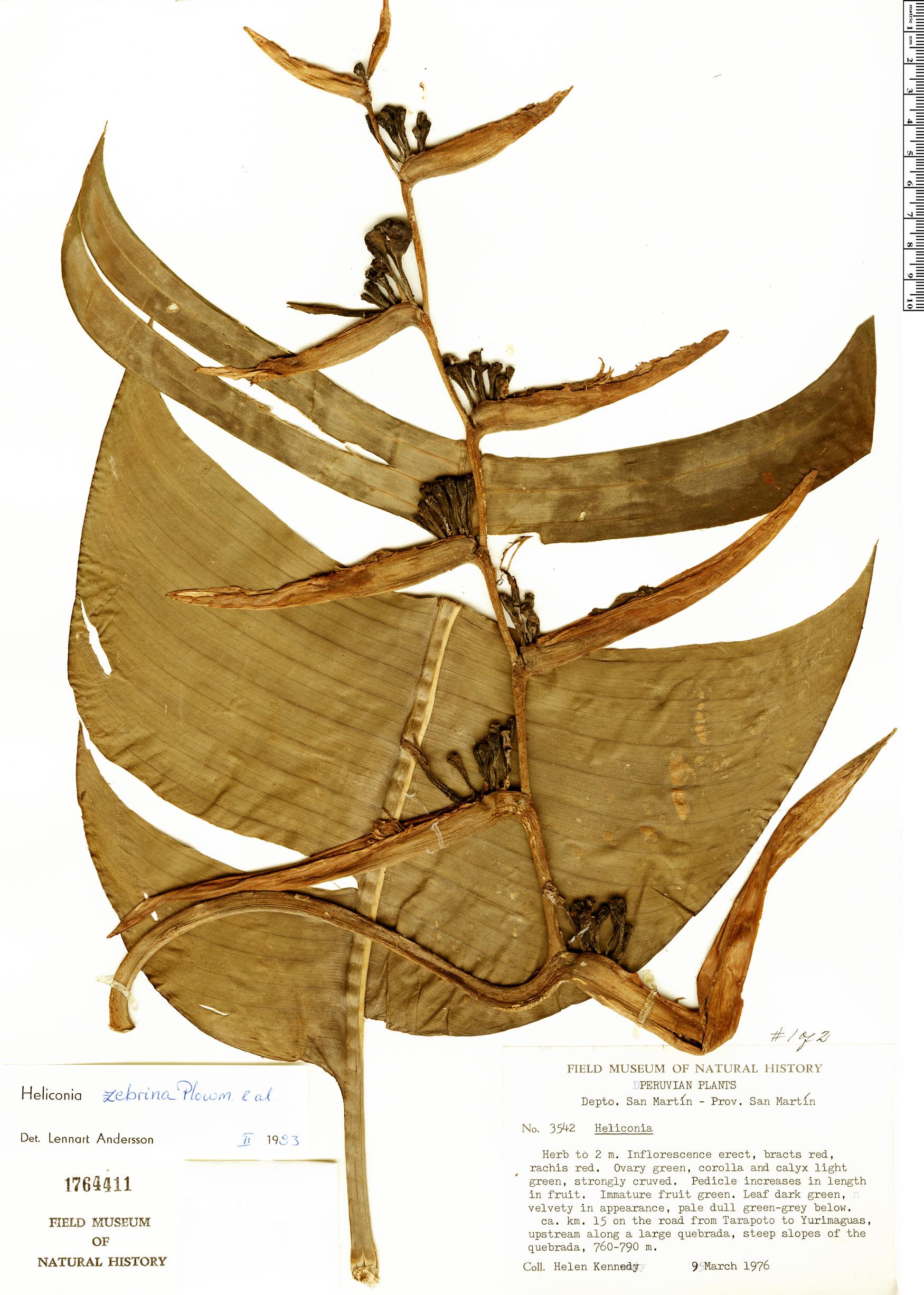 Specimen: Heliconia zebrina