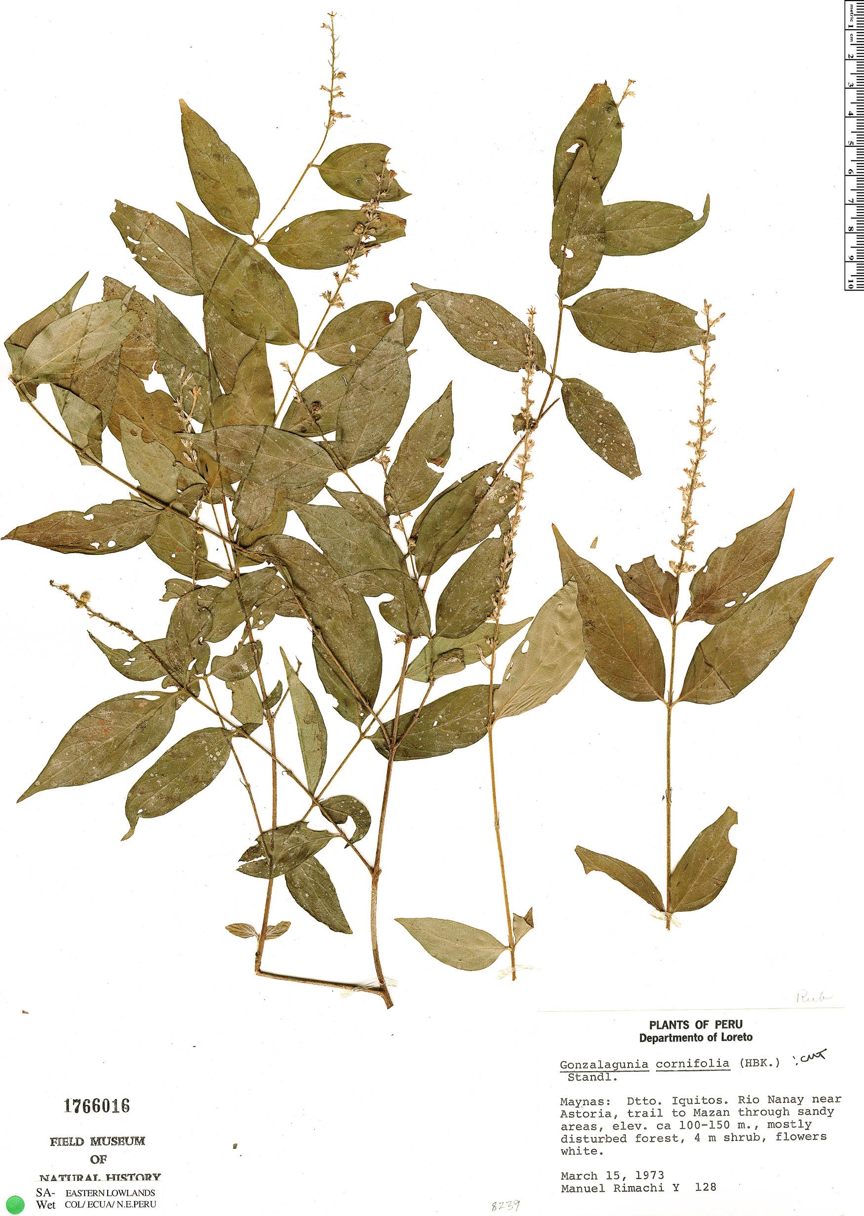 Specimen: Gonzalagunia cornifolia