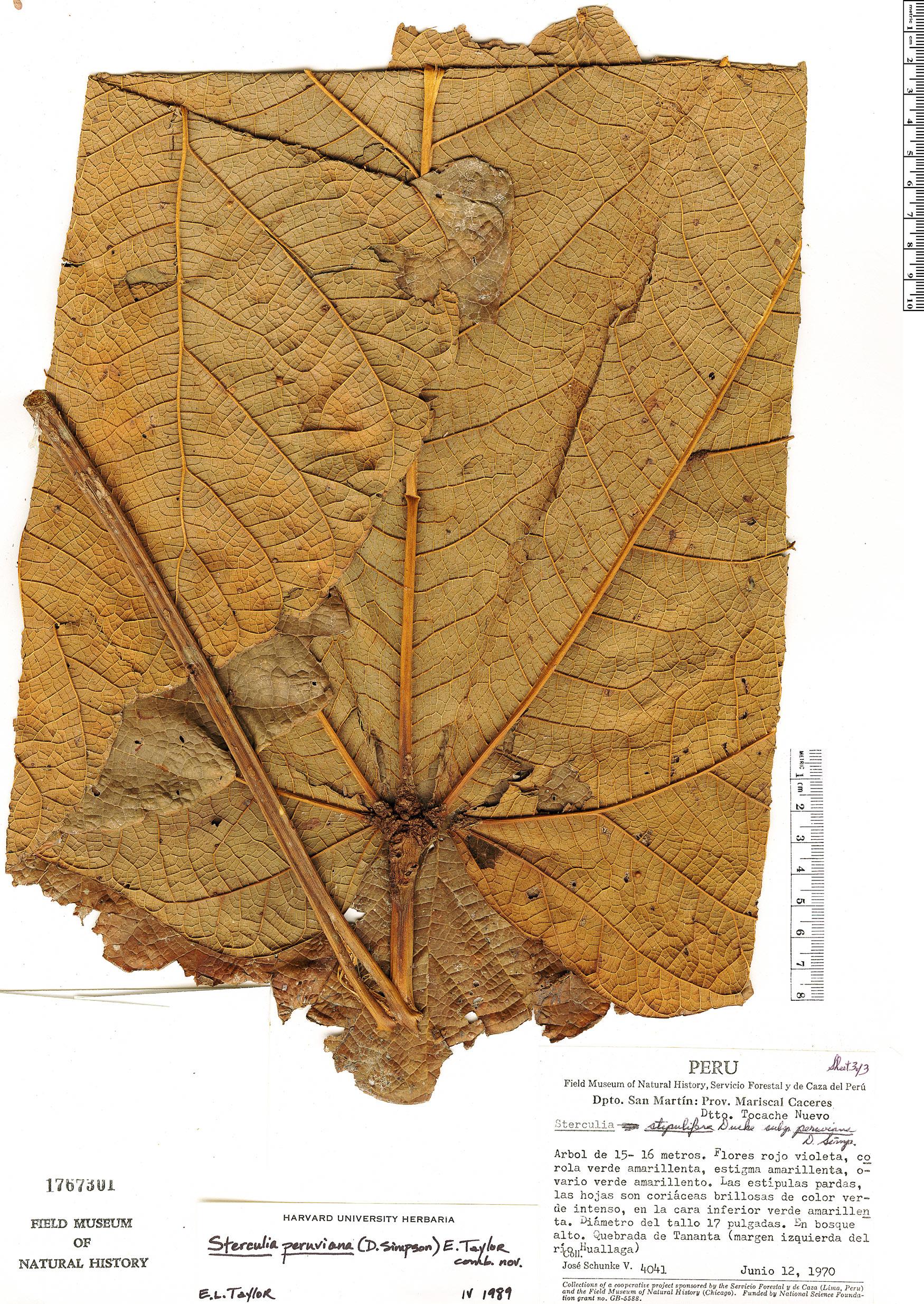 Specimen: Sterculia peruviana