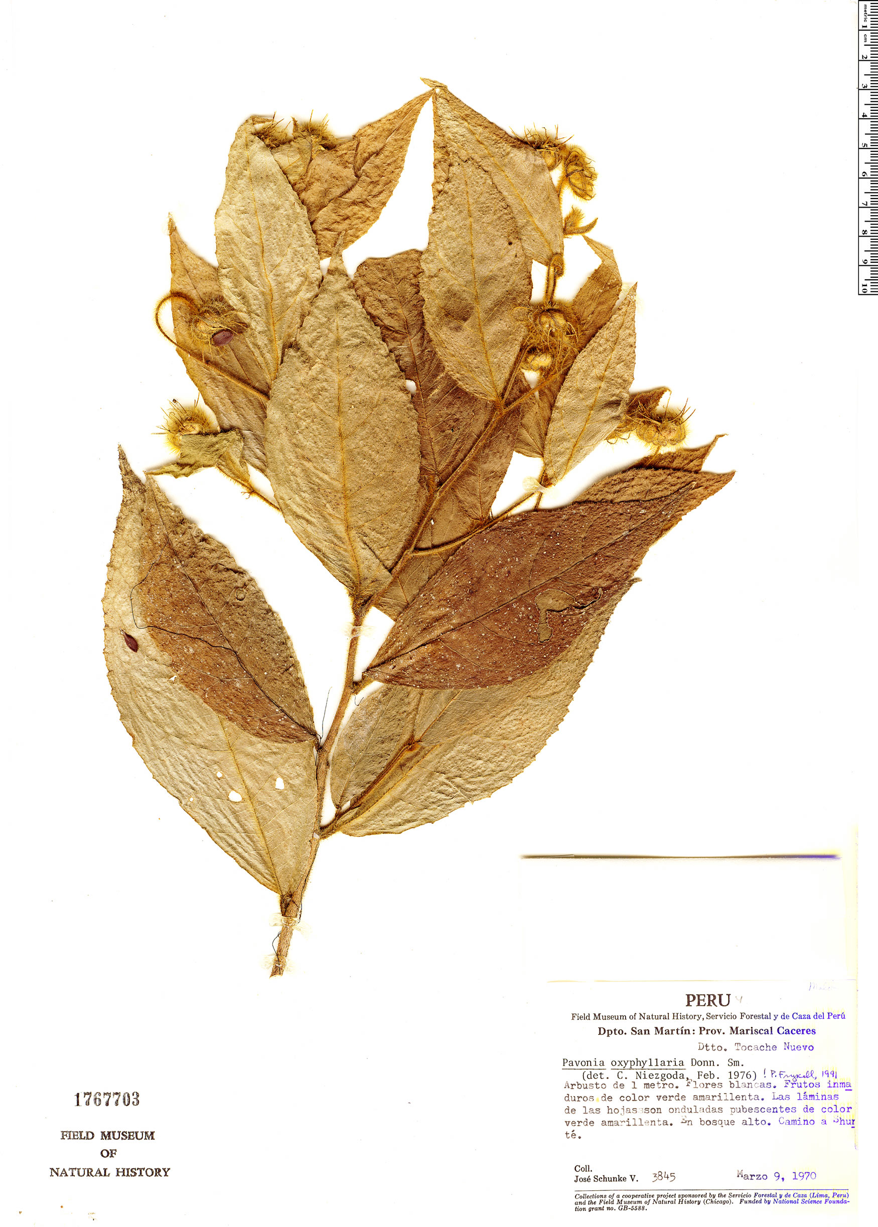 Specimen: Pavonia oxyphyllaria