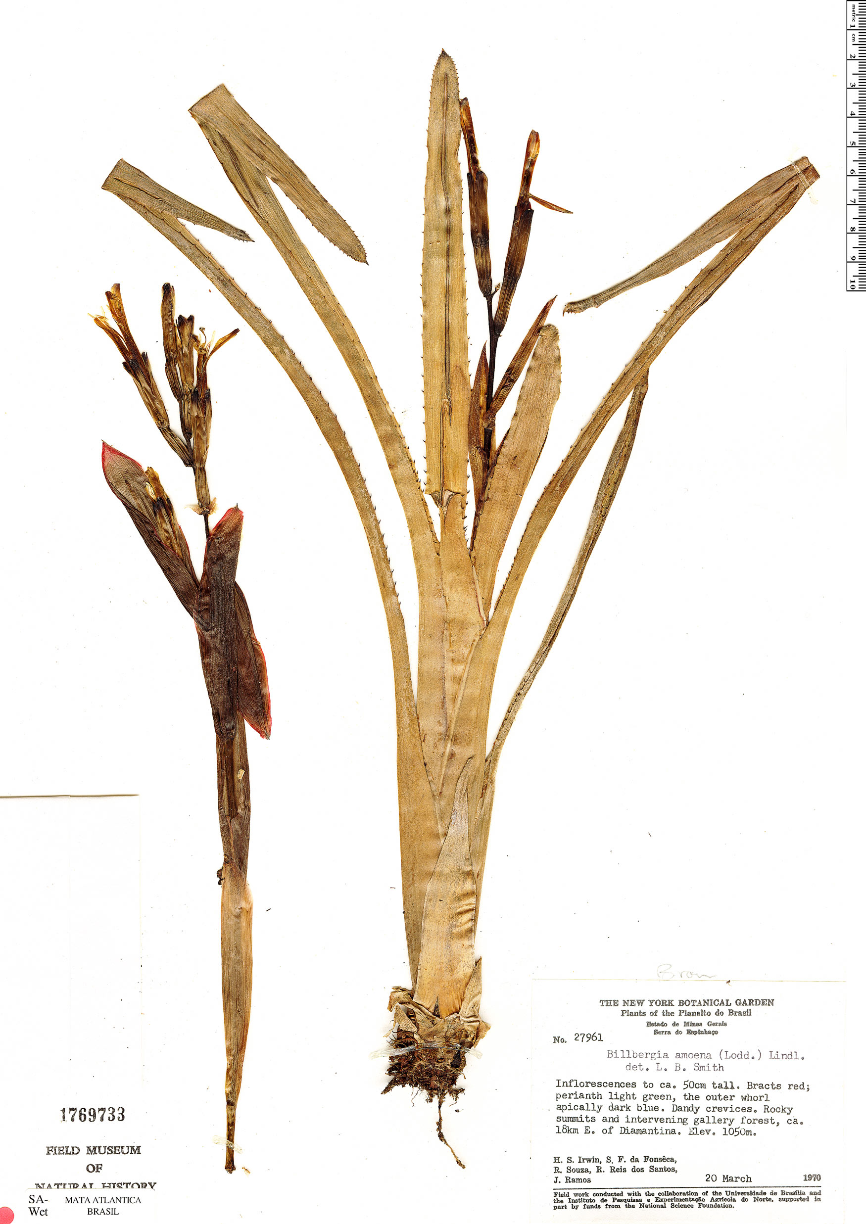Specimen: Billbergia amoena