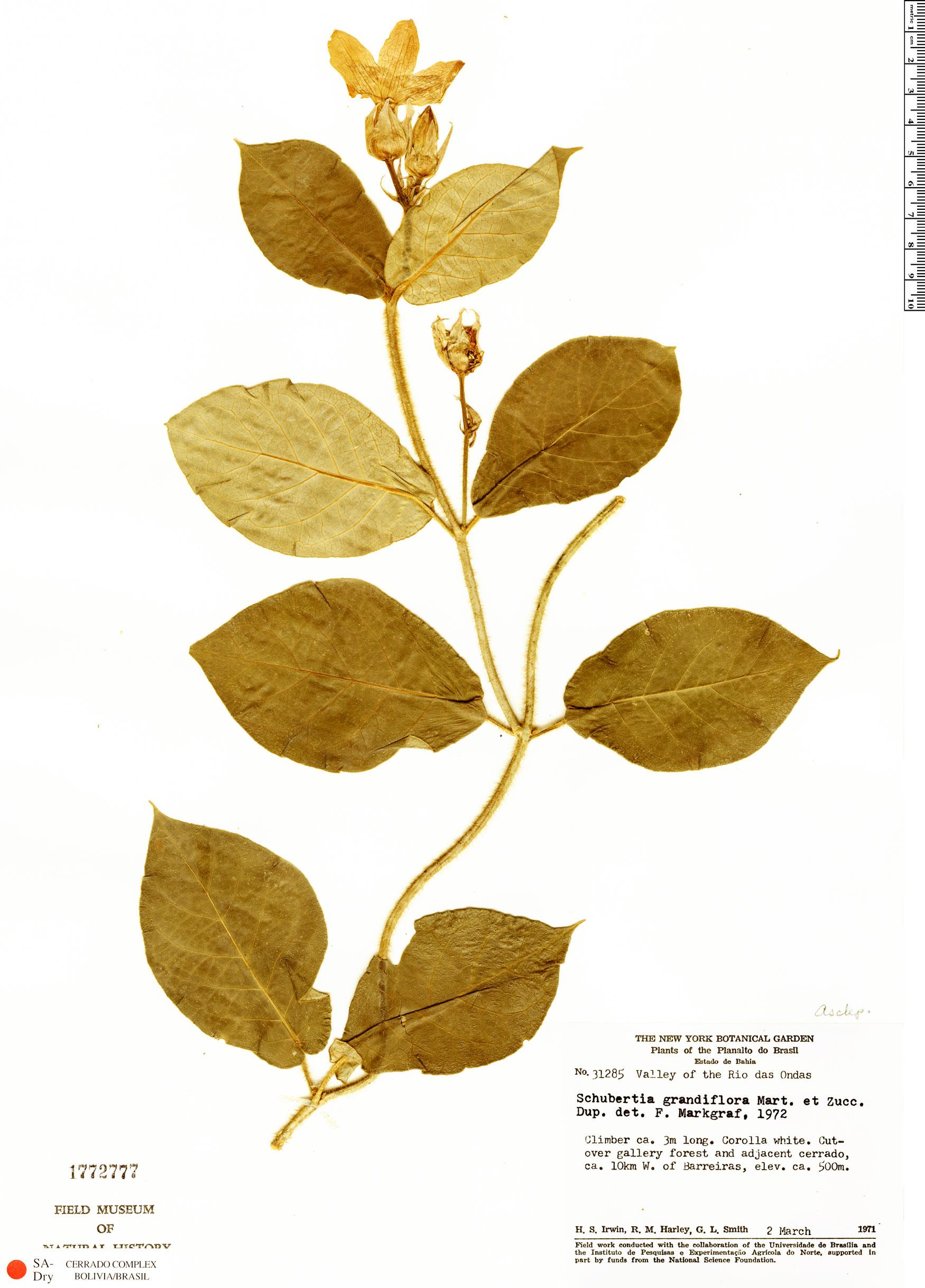 Specimen: Schubertia grandiflora
