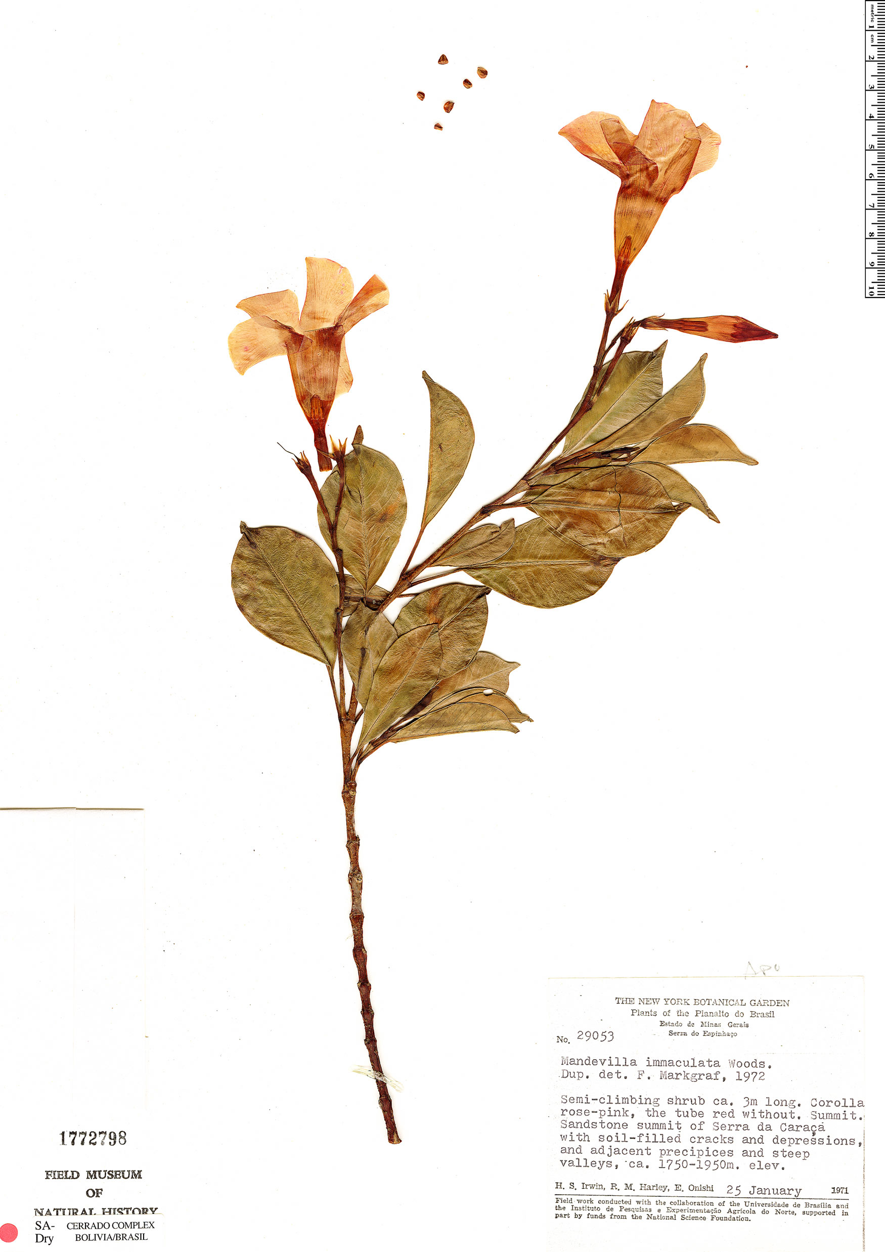 Specimen: Mandevilla immaculata