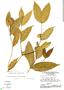 Tabernaemontana rupicola Benth., Brazil, G. T. Prance 14785, F