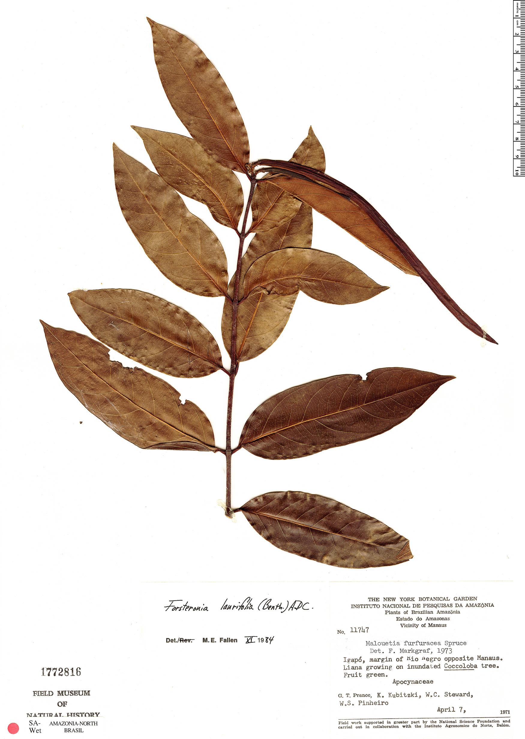 Specimen: Forsteronia laurifolia