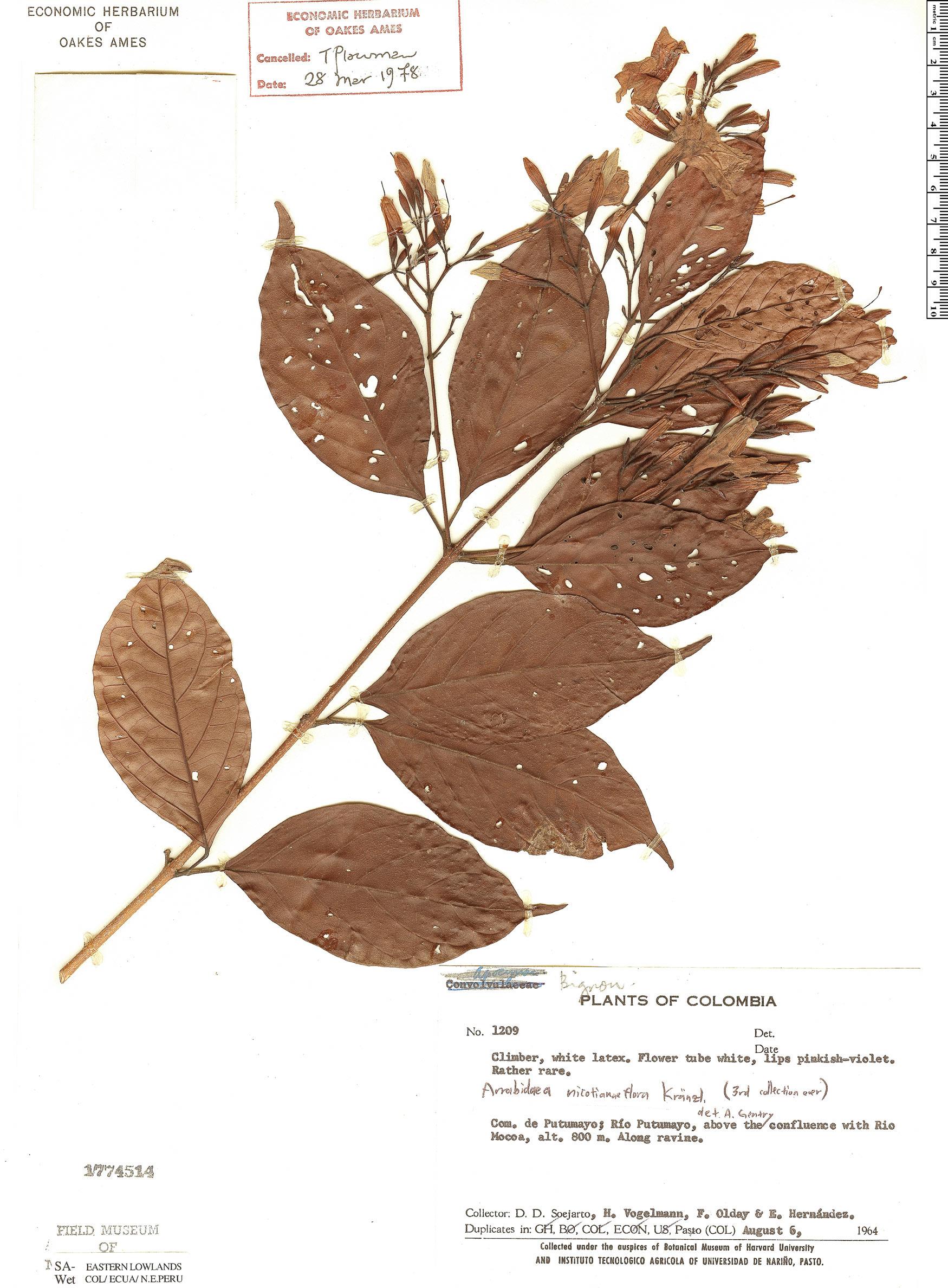 Specimen: Fridericia nicotianiflora
