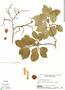 Couratari riparia Sandwith, GUYANA, B. Maguire 45906, F