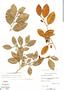 Chrysophyllum oliviforme subsp. oliviforme, D. Cornell 44080, F