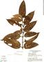 Bellucia acutata Pilg., Brazil, G. T. Prance 13801, F