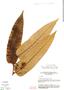 Virola elongata, Brazil, G. T. Prance 15120, F