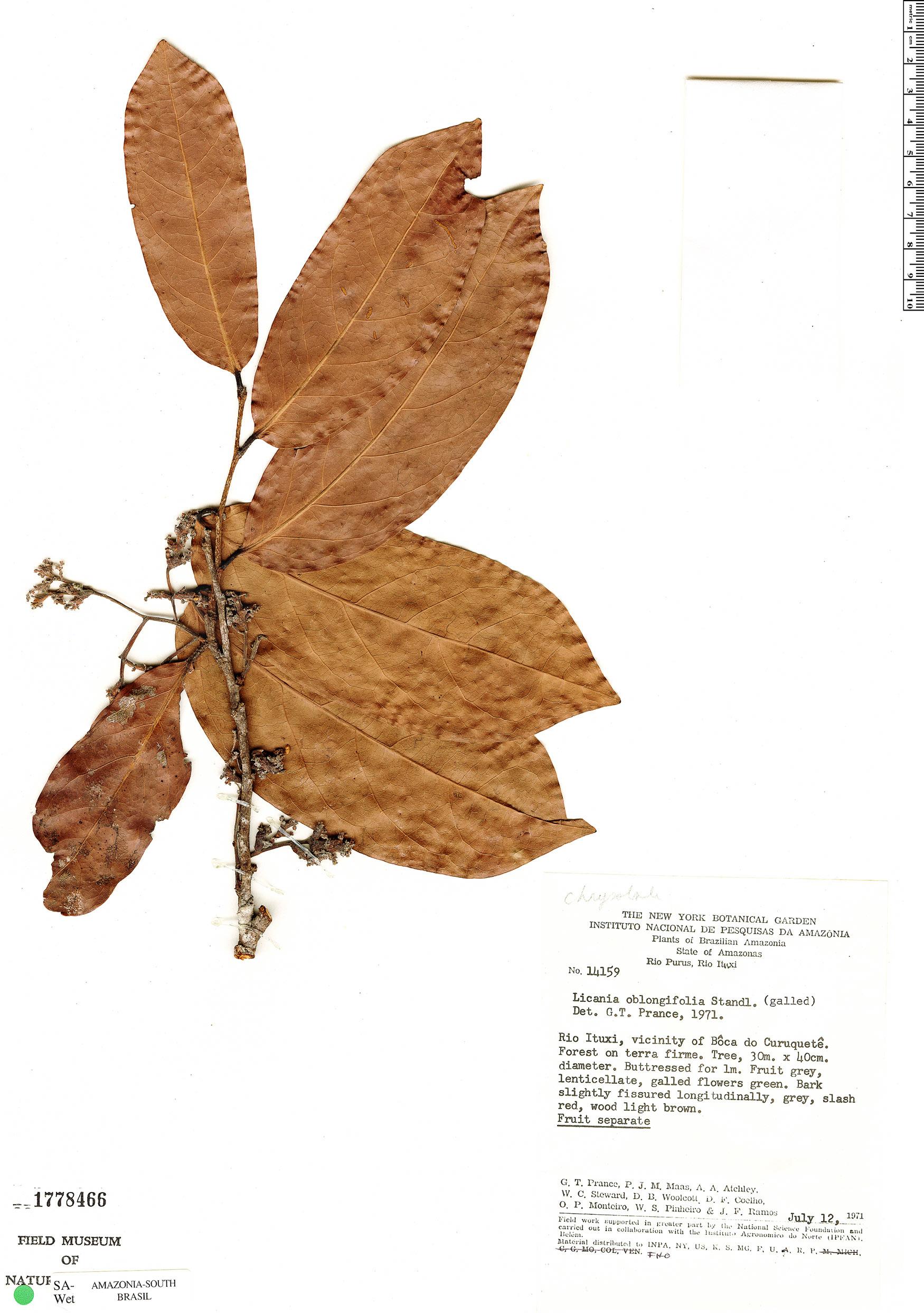 Espécime: Licania oblongifolia