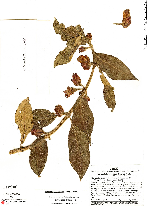 Specimen: Drymonia serrulata