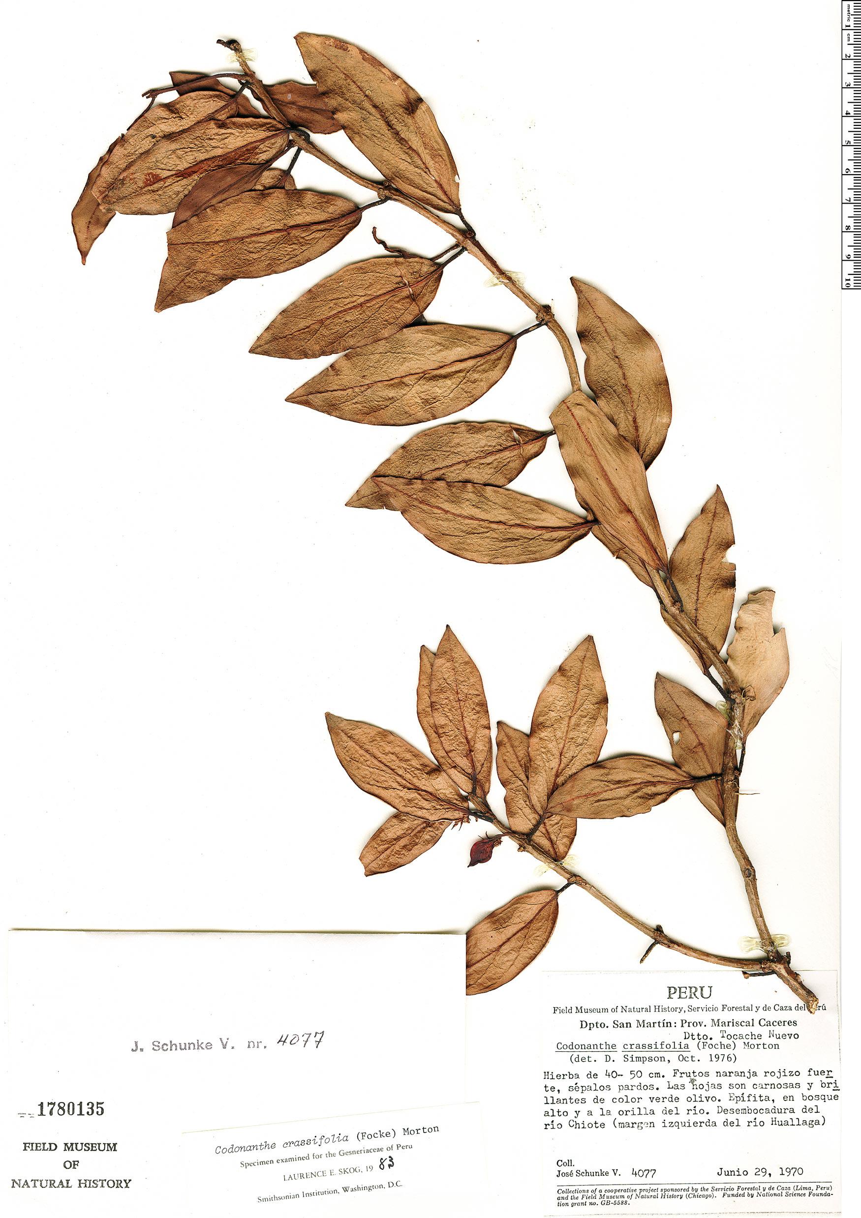Specimen: Codonanthe crassifolia