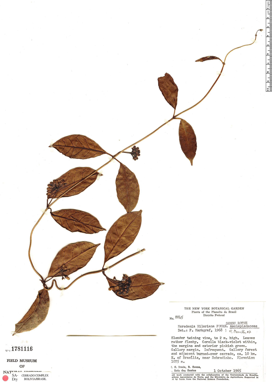 Specimen: Marsdenia hilariana