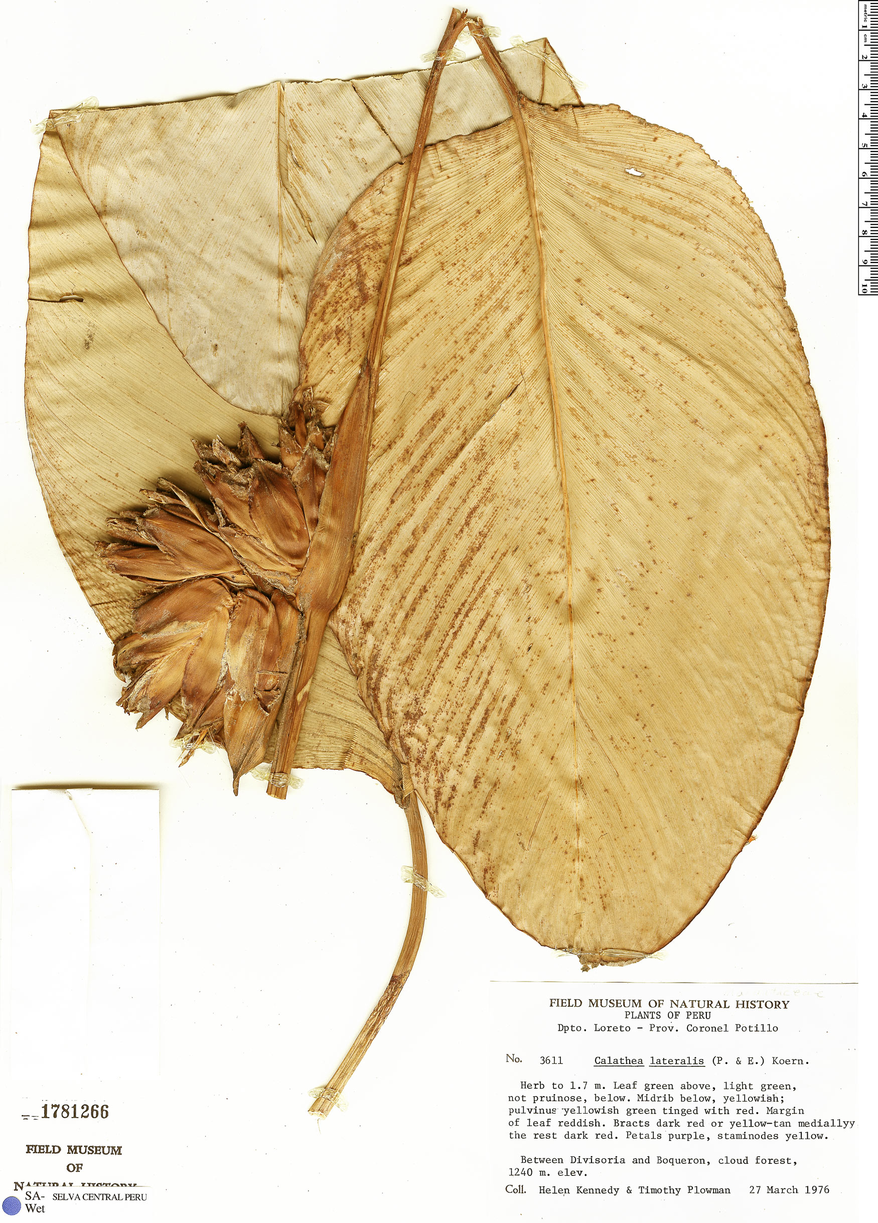 Specimen: Calathea lateralis