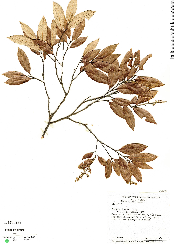 Specimen: Licania hoehnei