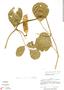 Canavalia rosea (Sw.) DC., Panama, R. L. Liesner 508, F
