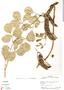 Canavalia rosea (Sw.) DC., Panama, P. Busey 499, F
