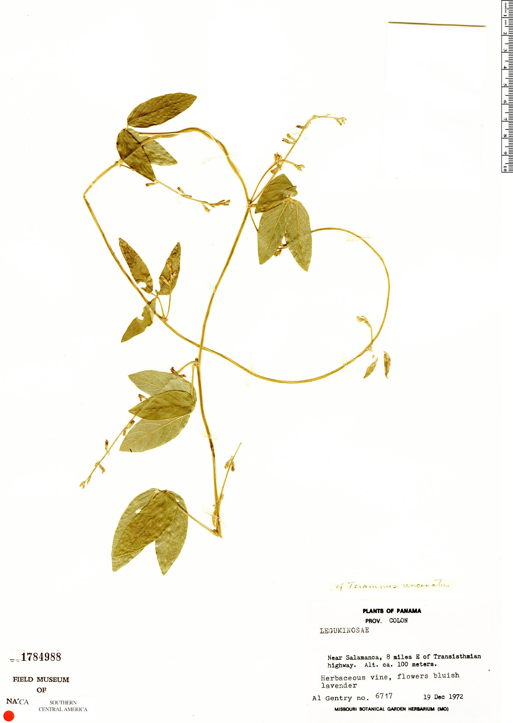 Specimen: Teramnus uncinatus