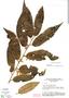 Virola elongata, Brazil, G. T. Prance 15310, F