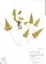 Tectaria fimbriata, BAHAMAS, D. Cornell 40855, F