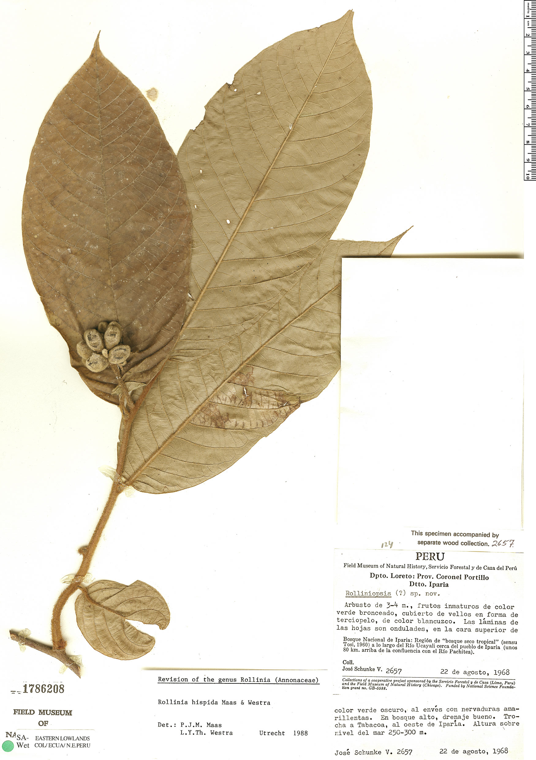 Specimen: Annona hispida