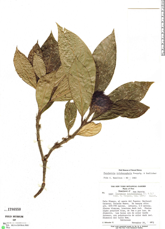 Espécime: Psychotria trichocephala