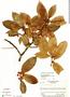 Ficus americana subsp. guianensis (Desv.) C. C. Berg, Guyana, R. S. Cowan 1838, F
