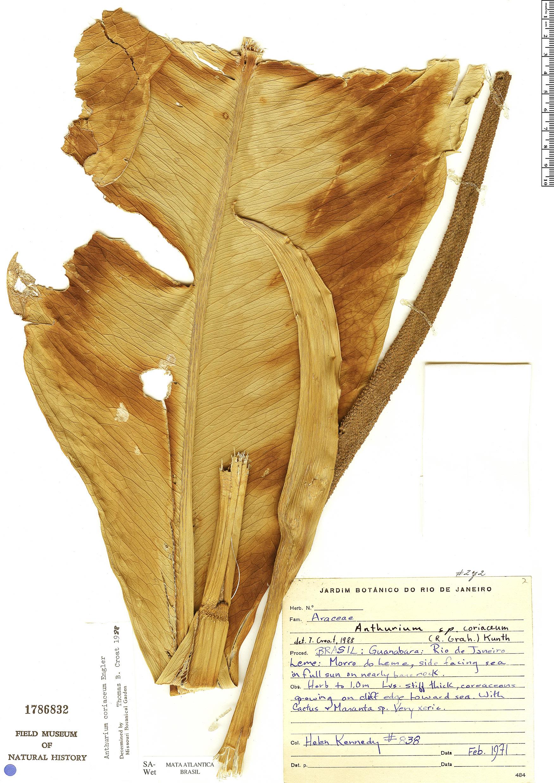 Specimen: Anthurium coriaceum