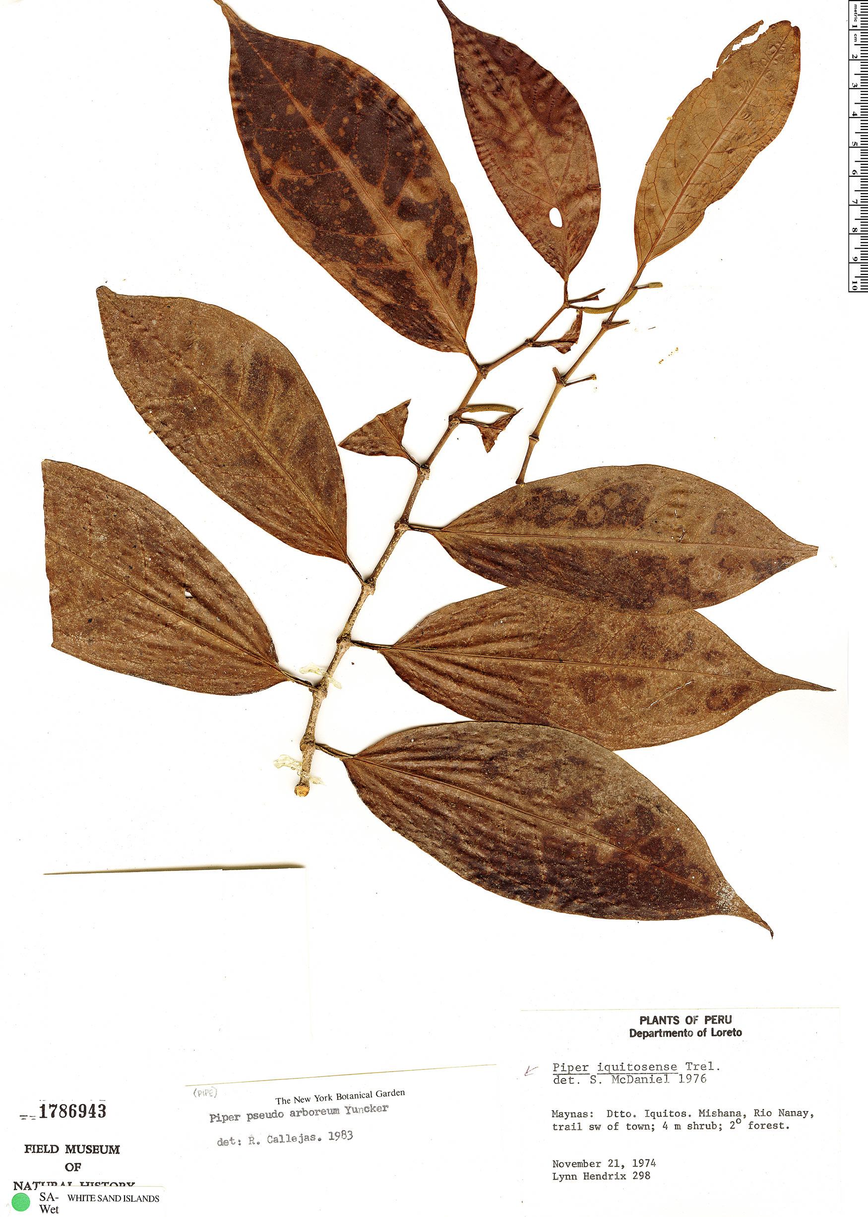 Specimen: Piper pseudoarboreum
