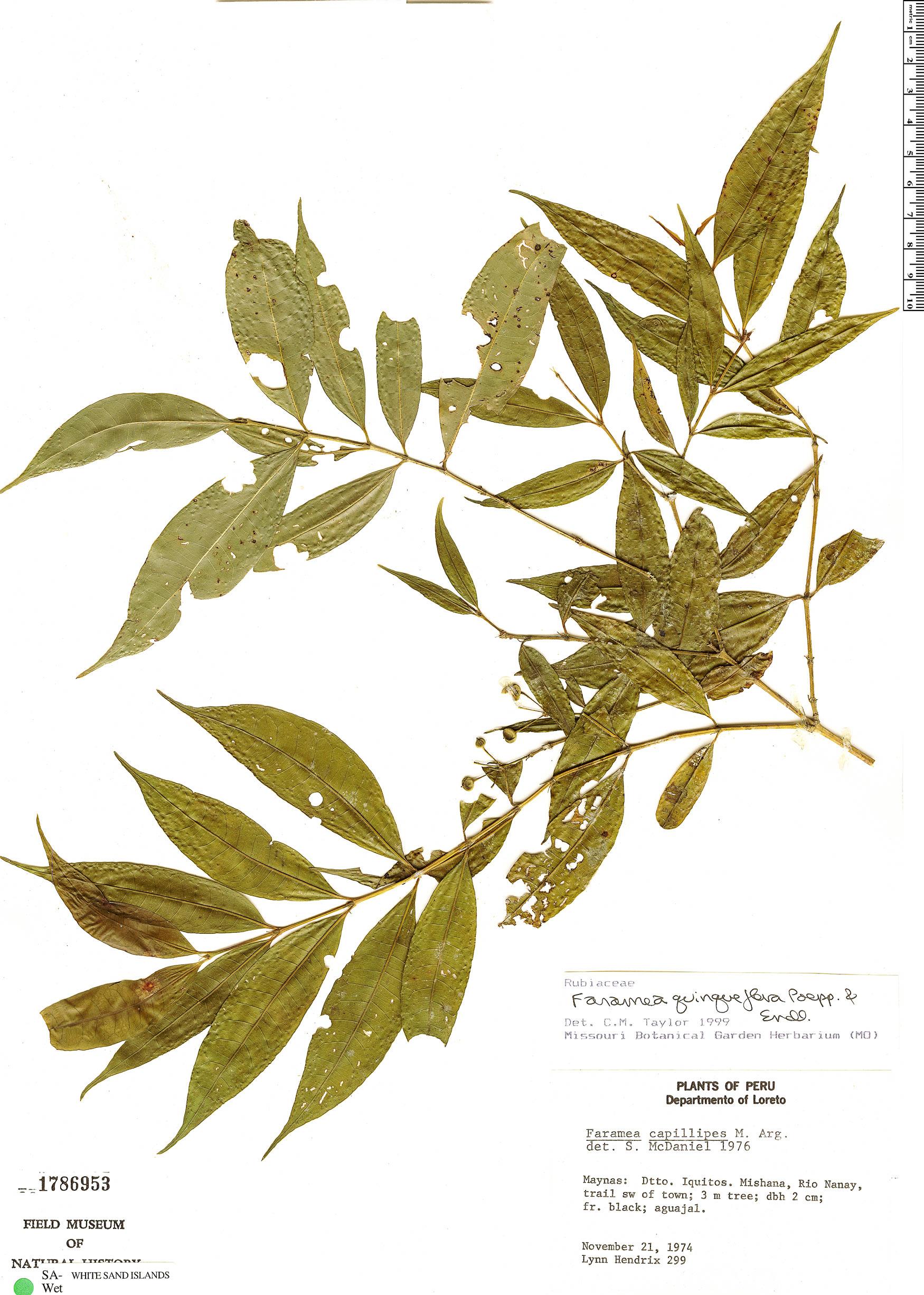 Specimen: Faramea quinqueflora