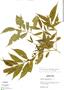 Faramea quinqueflora Poepp. & Endl., Peru, L. Hendrix 299, F