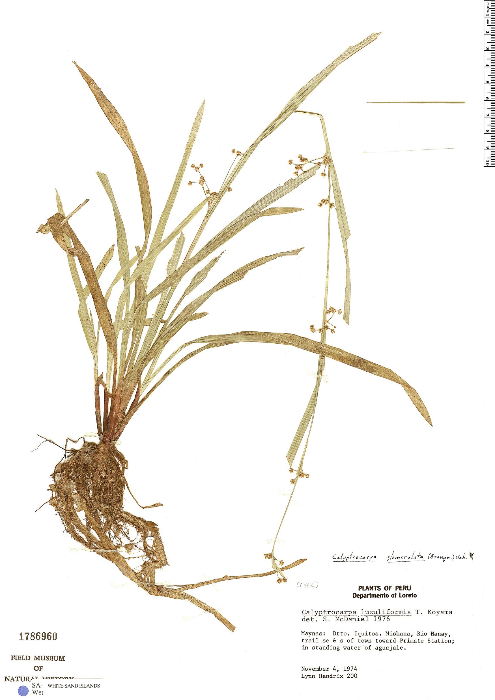 Specimen: Calyptrocarya glomerulata