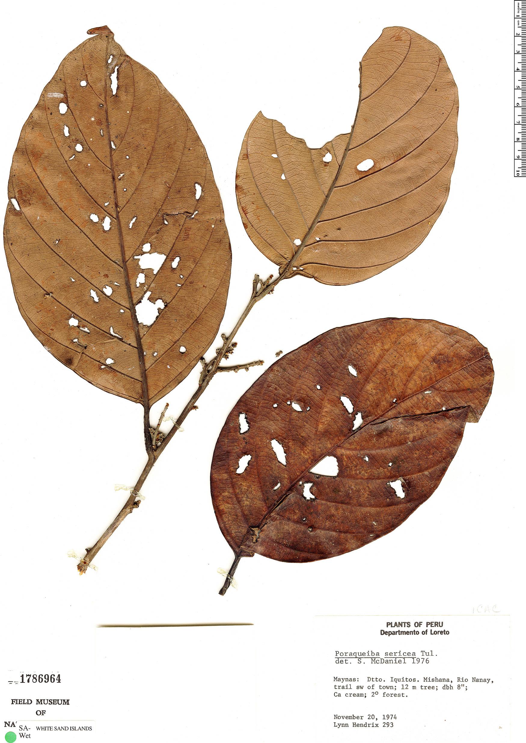 Specimen: Poraqueiba sericea