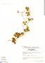 Oxalis lotoides Kunth, Ecuador, L. B. Holm-Nielsen 5639, F